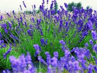 الخزامى Lavender 37a-na-9481.jpg