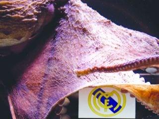 الأخطبوط «إيكر» يتوقع فوز ريال مدريد 65a-na-41456