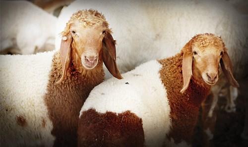 بيع الحيوانات المستوردة دون وسائل تعريف جريمة